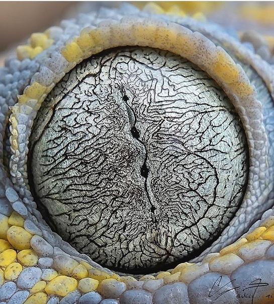 Глаз геккона токи