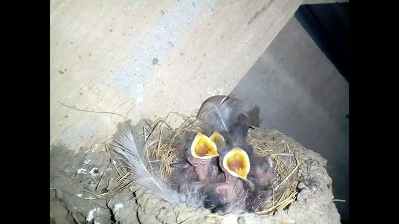 Ласточкино гнездо Птенцы ласточки Ласточка