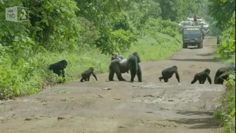Silverback gorilla blocking traffic while his family crosses the road