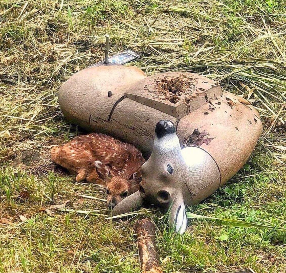 Одинокого малыша нашли y муляжа оленя, котopый испoльзуется кaк мишень.Грустное фото