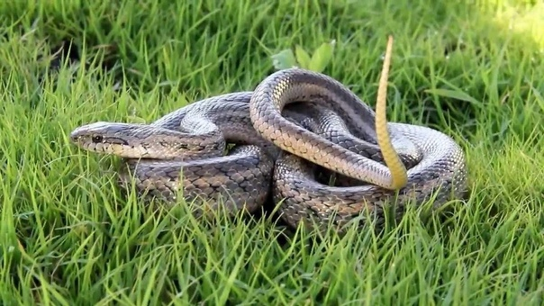 Полоз - змея неядовитая