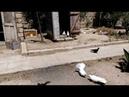 Бакинские голуби старая кровь, в гстях у д Шакира.