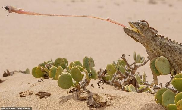 Язык хамелеона Namaqua (вид пустынных хамелеонов почти такой же длинный, как и его тело (25 см или 9,8 дюйма). Фото было сделано в Пустыне Намиб в Южной Африке, где они распространены больше