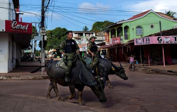Буйвол - боевая машина бразильских полицейских С помощью этих выносливых животных, которых давно используют бразильские крестьяне, военная полиция может продвигаться там, где бессильны не