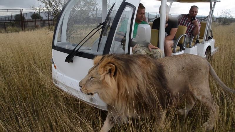 До чего народ дошел ,львов не боится !! Красавец Марсель !!