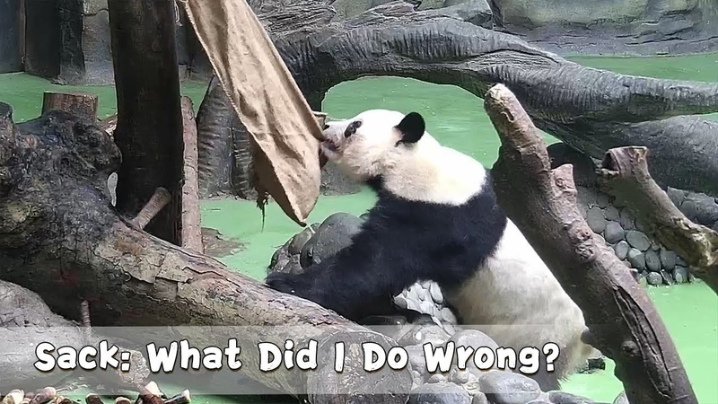 Sack: What Did I Do Wrong? | iPanda