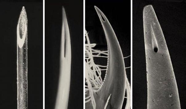 Кончик иглы для подкожных инъекций, клык гадюки, клык паука и жало скорпиона (слева направо