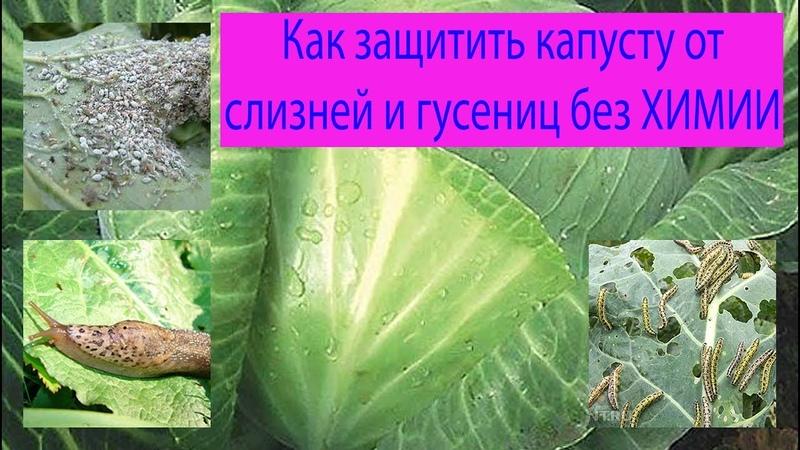 Как защитить капусту от слизней и гусениц без химии. Сад и огород выпуск 183