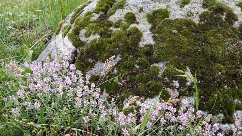 Чабрец или Богородская трава Лечебные травы Домашний доктор