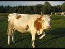Корова Есенин