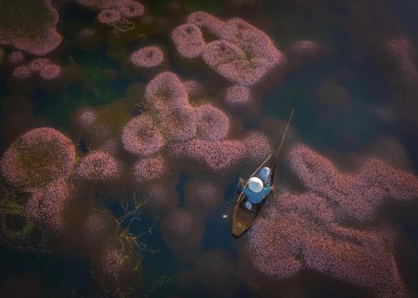 Рыбак плывет на деревянной лодке среди скоплений ярко-розовых водорослей