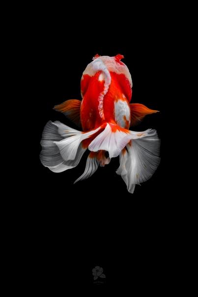 Великолепные фотографии изящных китайских золотых рыбок Фото: Tsubai
