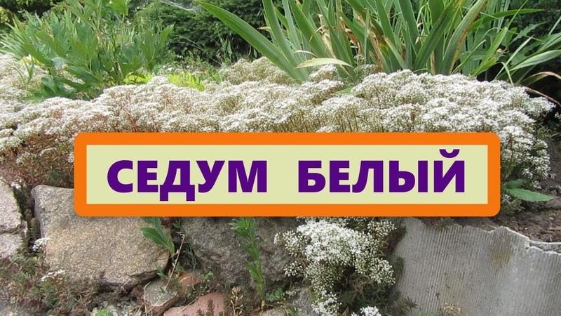Седум (Очиток) белый, почвопокровник. Откуда такое название получило растение