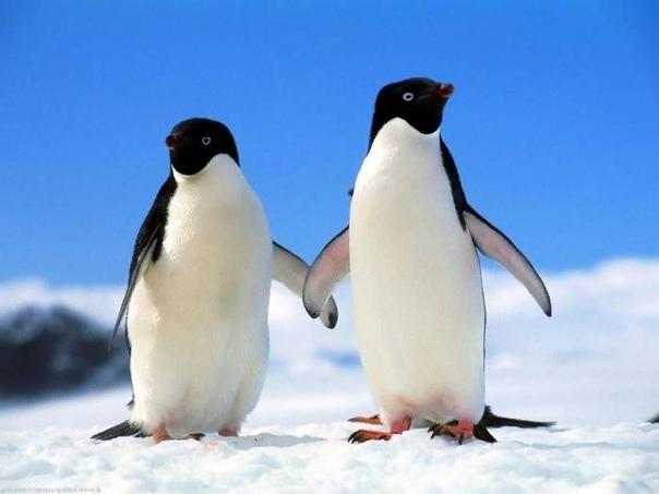 Почему пингвин не летает: мнение современных ученых
