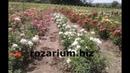 роза жан кокто, розы флорибунда, питомник роз полины козловой