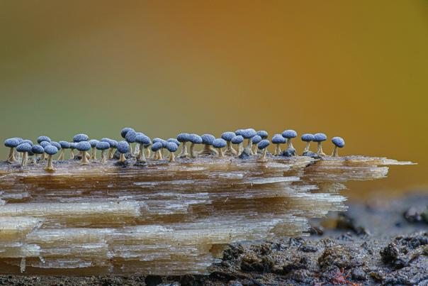 Зрелищные грибы и слизевики, запечатлённый фотографом Элисон Поллак Предмет выбора фотографа Элисон Поллак (Alison Pollac) обычно прячется на виду: чтобы обнаружить крошечные, но великолепные