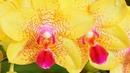 Стимуляторы роста и развития для орхидей.Чем я пользуюсь.
