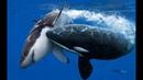 Кaсатка самый опасный хищник океана
