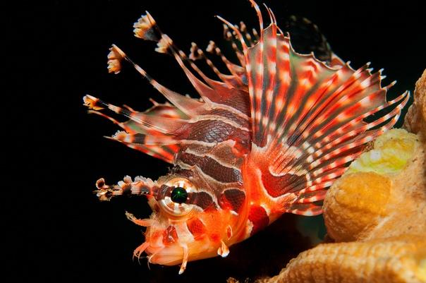 Крылатка или рыба-зебра - ядовитая морская красавица