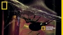 Deadly Mates Black Widow Spider National Geographic