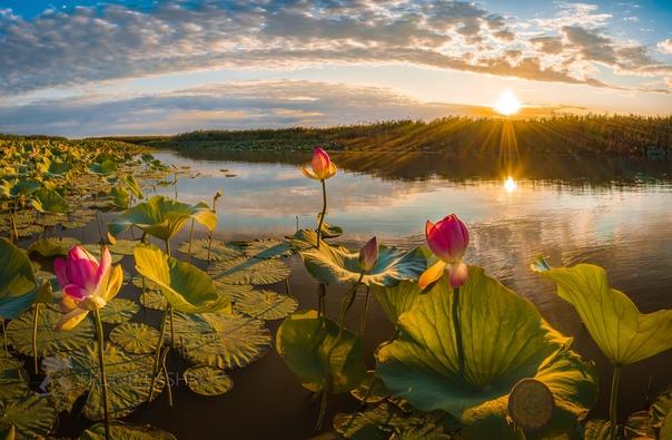 Лотосовый рассвет в дельте Волги
