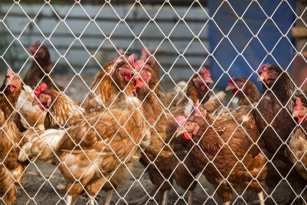 Птичий грипп: симптомы у людей. Лечение, профилактика, первые признаки