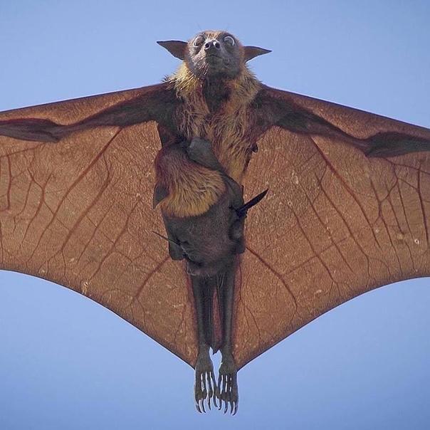 Индийская летучая лисица и ее детеныш