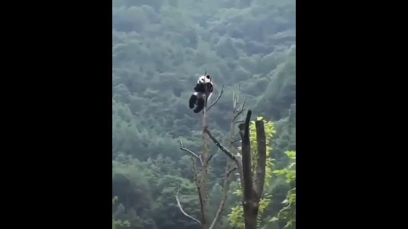 Ходят легенды о мужестве панд...оказывается, это не легенды!