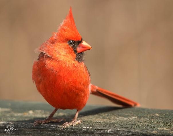 Северный кардинал (Cardinalis cardinalis) примостился на заборе в загородном парке.