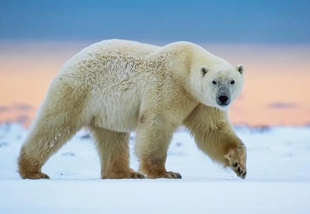 Полярный медведь может почувствовать запах человека за 30 километров, и бегает со скоростью до 40 километров в час