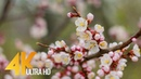 4K Spring Relax Video - Apricot Tree Blossoms - Short Preview