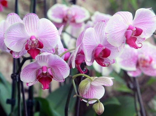 Хотите, чтобы ваша орхидея цвела как можно чаще