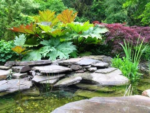 Декоративный ревень Это величественное растение из семейства Гречишных у многих ассоциируется со вкусными компотами и пирожками. Однако в средние века, когда культуру впервые завезли в Европу,