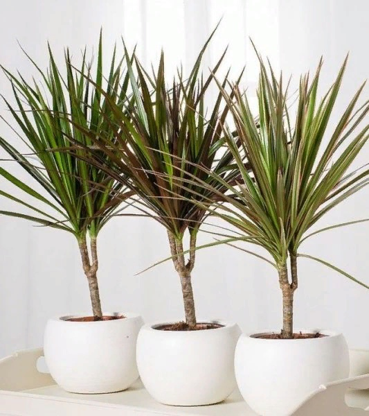Драцены Драцены - кустарники с пучком листьев на прямостоячем стебле, который с возрастом превращается в ствол. Популярность драцены, которую используют как одиночное комнатное растение для