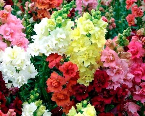 Антирринум (Львиый зев) Выбирая среди всего многообразия цветочных культур, садоводам и дизайнерам необходимо не упускать из внимания тот факт, что красиво смотрятся и помогают реализовать самые