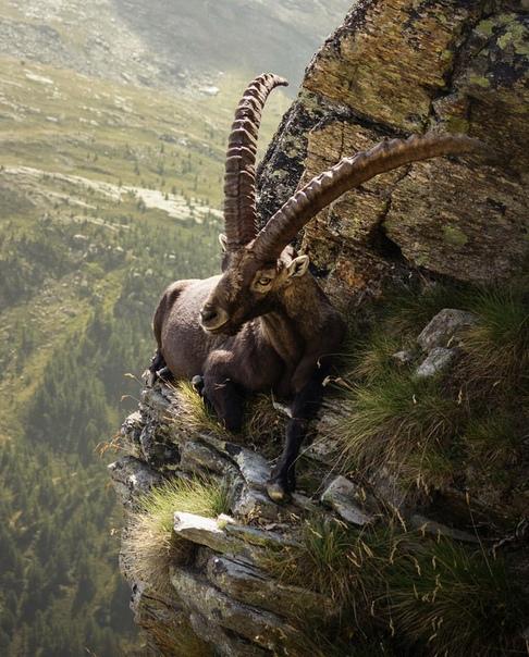 Альпийский горный козел отдыхает на склоне утеса в Национальном парке Гран-Парадизо, Италия