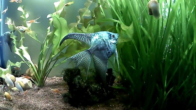 Angelfish Blue smokey leopard veil Blue smokey leopard
