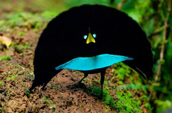 На фото чудная райская птица (Lophorina superba