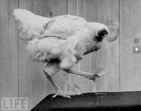 БЕЗГОЛОВЫЙ ПЕТУХ Все началось в 1945 году 10 сентября. Ллойд Олсен по просьбе жены отправился в курятник, что бы подготовить тушку цыпленка. В Колорадо, как и везде, приходится мириться с