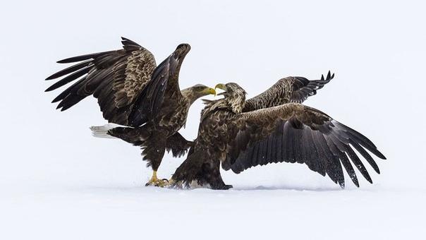 «Битва орлов»