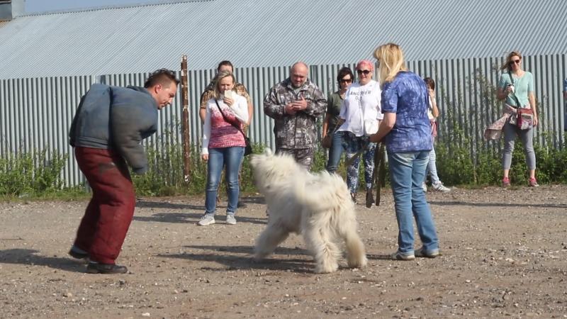 Южнорусская овчарка Дёма первое занятие по защите Радогощ