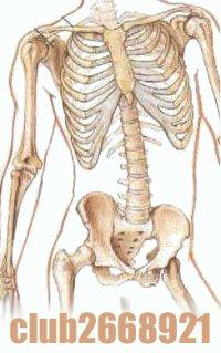 Скелет человека.  На картинках видно, что внутренние органы расположены в полостях (грудная и брюшная).