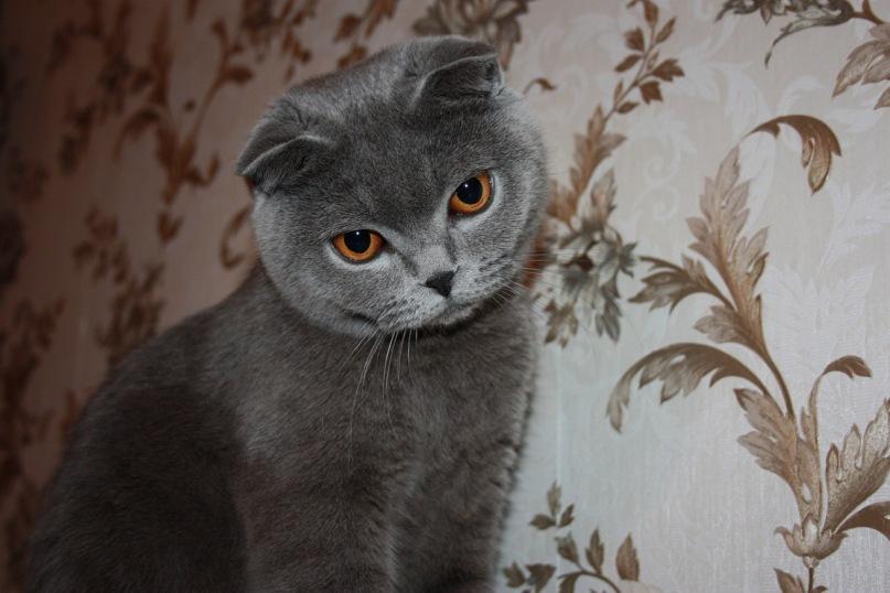 имя и фото шотландской вислоухой кошки продвинутые