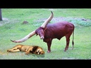 Lion vs Buffalo Bull fight back Leopard vs Wild Boar Lion attacks animal Nature Wildlife
