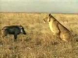 Лев против кабана кабан атакует мясо кабана кто сильнее атака льва приколы с животными.
