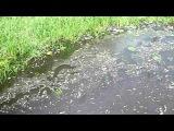 Массовая гибель рыбы на р.Охта в Петербурге