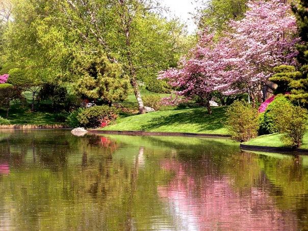 Цветущая сакура природа весна