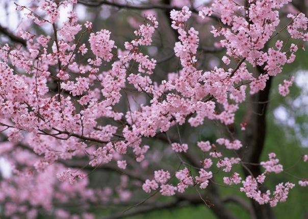 вдохновляющие картинки, сакура, sakura, япония, цветущая сакура, природа, весна