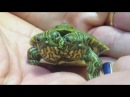 Two-headed turtle Thelma and Louise goes on display