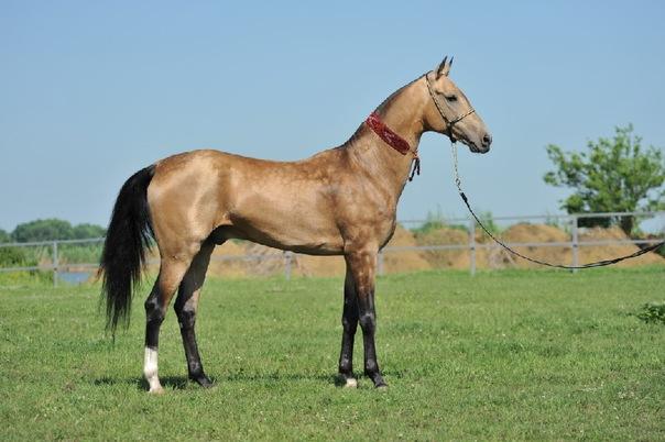 ахалтекинские лошади фото